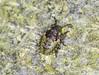 Red-legged Shieldbug Second Instar Nymph (Prank F) Tags: rspb thelodge sandy bedfordshireuk wildlife nature insect macro closeup bug shieldbug redlegged forest second instar nymph pentatomarufipes