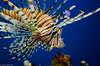 Lionfish (Ricardo Salamé Páez) Tags: lionfish fish ocean salt