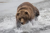 Salmon fishing (wyrickodiak_9) Tags: kodiak alaska brown bear grizzly ursus mammal wildlife island fishing cubs