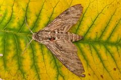 1972-P1110997 Convolvulus Hawk-moth (Agrius convolvuli) (ajmatthehiddenhouse) Tags: stmargaretsatcliffe kent uk 2016 garden moth sphingidae agrius convolvuli agriusconvolvuli convolvulushawkmoth