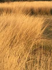 Shrike (Marshen) Tags: longtailedshrike india ranthambore