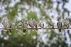 new urban majority - platoon of noisy miners (revisited) (Fat Burns ☮ (gone bush)) Tags: noisyminer manorinamelanocephala bird australianbird fauna australianfauna feathers minerbird mickybird nikond500 sigma150600mmf563dgoshsmsports