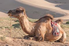 1706_mbe_mongolia_ömnögov_khongoryn els_062 (Marcel Berendsen - The Netherlands) Tags: asia asian azie camelusbactrianus khongorynels mongolia mongolian mongolië travel world agrarisch agricultural agriculture bactraincamel camel camels countrified desert farming gobi gobidesert kameel kamelen landelijke landscape landschap rural rustic scenery scenic travelphotography woestijn ömnögov