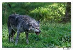 """"""" J'ai les crocs ! """" (C. OTTIE et J-Y KERMORVANT) Tags: nature animaux mammifères canidés loup loupnoir loupducanada canislupusoccidentalis parcanimalier france"""