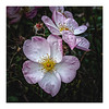 Tiring Rose- (Martyn.A.Smith LRPS) Tags: plant petals rose florafauna flowers colour outdoors tired autumn fujifilm xt2