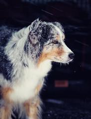 snow dog 2 (juhwie.foto - PROJECT: LEIDENSCHAFT-LICH-T) Tags: snow dog pet animal winter pentax pentaxart k1 samyang rokinon portrait aussie australian shepherd mybestfriend ngc