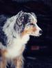 snow dog 2 (Juhwie_Fotography) Tags: snow dog pet animal winter pentax pentaxart k1 samyang rokinon portrait aussie australian shepherd mybestfriend ngc
