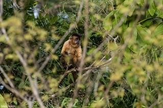 Robust capuchin monkey