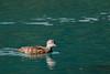Mandarin duck (Aix galericulata) (LauriusV) Tags: englishmandarinduck familyanatidae genusaix orderanseriformes speciesaixgalericulata matsumotoshi naganoken japan jp
