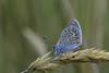 3L4A2713.jpg (Francois Berne) Tags: argusbleu papillonordrelépidoptère macro argus faune insecte
