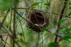 spectacled tetraka (Xanthomixis zosterops) (Peter du Preez) Tags: spectacled tetraka xanthomixis zosterops eggs egg nest nesting brooding madagascar ranamafana forest bird