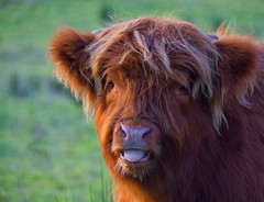 Cheeky Highland Calf (Margaret S.S) Tags: highland cow calf red bovine
