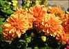 Sunny flowers (angelsgermain) Tags: flowers colours light orange green yellow summer garden plant nature dingle andaingean kerry ireland éire