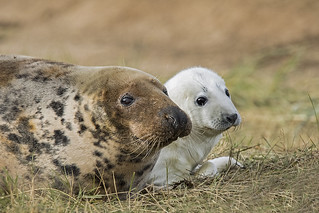 Common Seal with new born pup