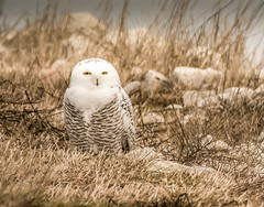 Happy Birthday to me! (Dr. Farnsworth) Tags: bird snowyowl females stripes white yellow eyes content excited snow dance westlake mi michigan fall november2017 fantasticnature
