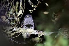 """San Isidro"" Owl (kidbirder) Tags:"