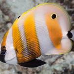 Orange-banded Coralfish - Coradion chrysozonus thumbnail