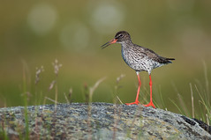 Redshank Tringa totanus (janmangorfagerland) Tags: animal birds bird birdphoto birdsgallery bokeh birding birdsofnorway colours coast colorful dephtoffield depth distinguishedbirds nikond4 nikon600mmais nikkor exposure morning oldpicture fagerland field fugler flickr fuglebilder fauna gallery green grass islands nikon wildlife jan janfagerland karmøy landscape light myr mangor marsh norway nature norge natur outdoor ornithology manualfocus photography photo rødstilk redshank wetland red supertele sun tc14e brown wader vader rock