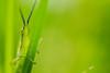 A bit shy grasshopper (Laban.tw) Tags: 臺北市 台北市 台灣 tw 台北植物園 taipeibotanicalgarden 紅后負蝗 atractomorphasinensis 蚱蜢 蝗蟲 grasshopper locust
