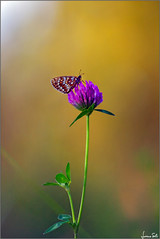 is there anybody out there? (Luciano Silei - sky7) Tags: boloria butterfly bokeh colors nature lucianosilei canon7d tair11a manualfocus vintagelens m42 russianlens