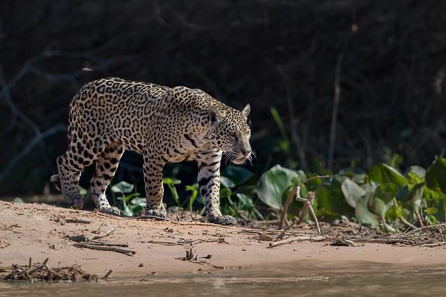 Jaguar hunting (12) large image