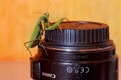 Une mante Canon! (jjcordier) Tags: mantereligieuse canon canon60d objectif insecte humour