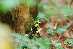 Feuersalamander (Aah-Yeah) Tags: feuersalamander firesalamander salamander salamandra caudata schwanzlurch achental chiemgau bayern