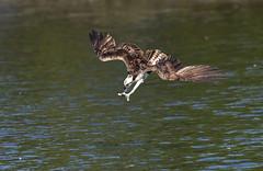 Eye on the ball (Dinusaur) Tags: osprey dive action