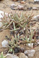 Crassula macowaniana (Crassulaceae)