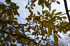 P1270699 (steve p2008) Tags: burtonupontrent autumn november2017 woodland trees