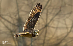 Spider Webs (Short-Eared Owl) (The Owl Man) Tags: