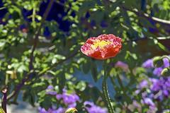 Abstract Poppy (maginoz1) Tags: flower flora poppy rose abstract art manipulation curves spring november 2017 bulla melbourne victoria australia g3x