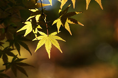 Acer palmatum (¨Weston¨) Tags: acerpalmatum japanesemaple leaf leaves foliage shine light shadow nature bokeh fall autumn yellow