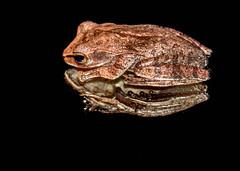 Grenouille - Amphibien - Chiromantis - foam-nest frog - Amphibia - Cambodge - Cambodia - 2 (Domw) Tags: grenouille amphibien chiromantis foamnest frog amphibia cambodge cambodia