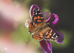 soft landing (rockinmonique) Tags: butterfly fall autumn monarch light pink green orange bokeh prettty moniquew canon canont6s tamron copyright2017moniquew