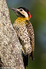 Green-barred Woodpecker female, San Clemente, Argentina (frankmetcalf) Tags: woodpecker greenbarred entrerios argentina