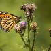 Papillon monarque - Monarch butterfly