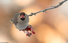 Tilhi (mattisj) Tags: aves birds bohemianwaxwing bombycillagarrulus bombycillidae eläimet fåglar linnut passeriformes tilhet tilhi varpuslinnut sidensvans
