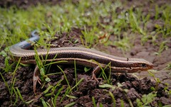 Western Skink Sighting (RZ68) Tags: westernskink skink western lizard blue tail closeup macro bokeh ground reptile lg lgg6 g6 cameraphone