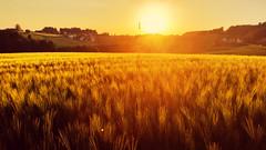 Sonnenuntergang im Weizenfeld (florian.glechner) Tags: sonneuntergang lichtenberg feld sonne weizen weizenfeld sonnenuntergang sommer spätsommer häuser landschaft austria
