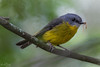 Menu 1 DSC_4409 (BlueberryAsh) Tags: apollobay ccc birds nikond500 tamron150600 easternyellowrobin robin australianbird eopsaltriaaustralis centipede