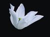 The white tulip (Klas-Goran Photo) Tags: macro tulip flower