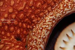 Rafflesia keithii (Wonder Kitsune) Tags: rafflesia largestflower rafflesiakeithii carrionflower rafflesiaceae floraofmalaysia floraofborneo borneo sabah floraofsabah malaysia flypollination