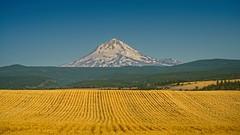 Mt Hood and Wheatfield 3236 C (jim.choate59 (away)) Tags: mthood dufuroregon wascocountyoregon jchoate oregon rural landscape wheat wheatfield harvest scenic farm d610 on1pics