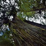 Standing Next to and Looking up the Sides of a Tall Evergreen Tree thumbnail