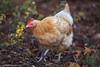 Here, Chickadee! (Samantha Decker) Tags: canonef135mmf2lusm canoneos6d samanthadecker chicken
