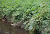 CKuchem-6722 (christine_kuchem) Tags: ackerblumen bach blühstreifen blüte blüten feldblumen natur naturschutz neophyt pflanze springkraut sumpf ufer uferpflanzen wiese wiesenblume wildblumen drüsiges eingewandert gewässer naturnah rosa