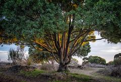 Tree At Sundown (westbymidwest) Tags: eastbay tree albanybulb albany california backlighting