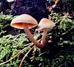 Paddenstoelen 1 oktober 2017 (26) (megegj)) Tags: gertpaddenstoelen pilzen mushrooms champignons