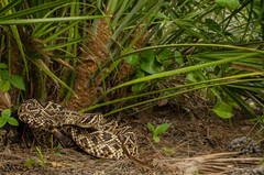 Eastern Diamondback Rattlesnake (Crotalus adamanteus) (ronkernan1) Tags: field herping florida nature habitat wildlife animal reptile nikon d5100 crotalus adamanteus eastern diamondback rattlesnake serpent scales